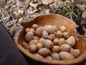 Acorns have been a staple food and medicine for most animals and humans across North America.