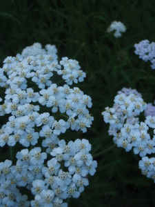 Yarrow - Yarrow can stop bleeding, prevent infection, break fevers, heal digestion and so much more.  This commonly found, often overlooked medicine is essential to herbal first aid in many climates.